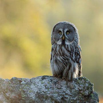 Great Grey Owl * Strix nebulosa * van