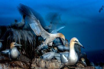 Gannet, Irlande sur Maarten van der Voorde