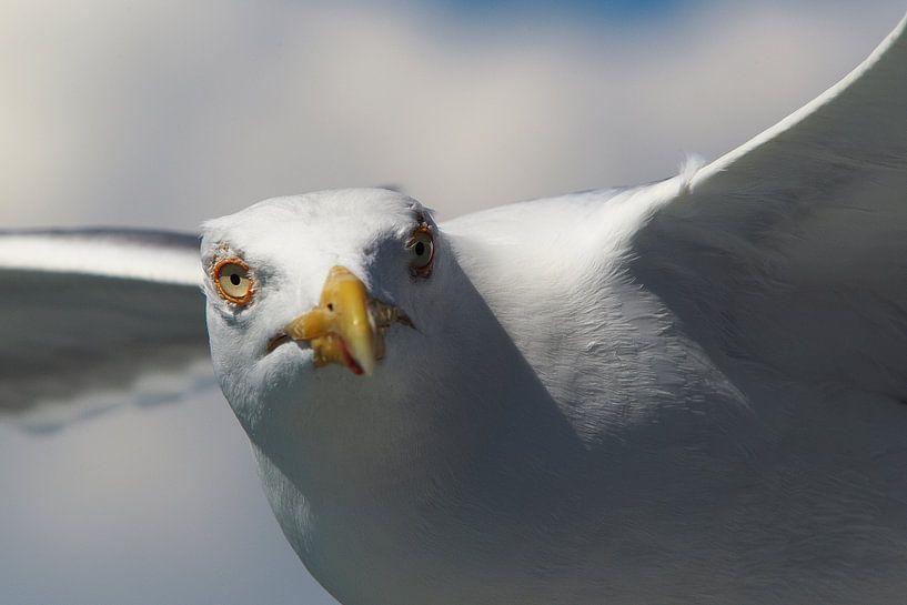 Zeemeeuw in volle vlucht sur Paul Teixeira