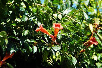 Trompete Blume von Maurits Bredius
