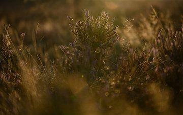 Heideland in warmem Sonnenlicht von Michel Knikker