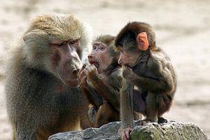 Mantelbaviaan-familie 2