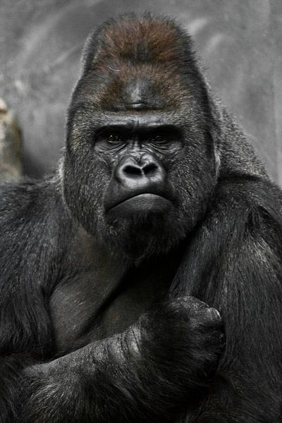 Portret van een krachtige dominante mannelijke gorilla (fysionomie), strak gezicht en krachtige arm. van Michael Semenov