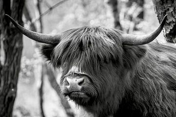 Schottischer Highlander von Mario Brussé Fotografie