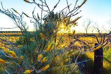 Fleurs jaunes dans l'Outback australien sur Jeroen de Weerd