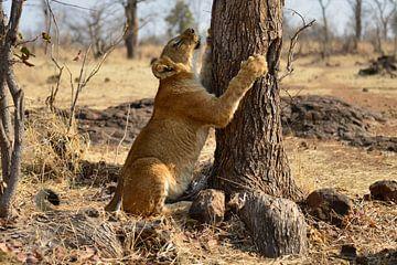 leeuwin met boom van