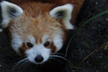 rode panda von Remko van der Hoek- Zijdemans