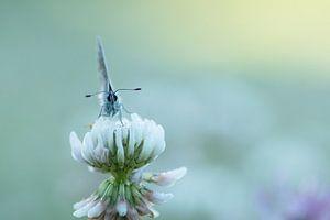 Vlindertje frontaal.
