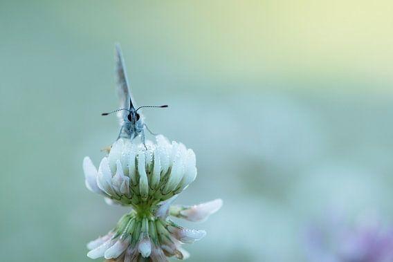 Vlindertje frontaal. van Francis Dost