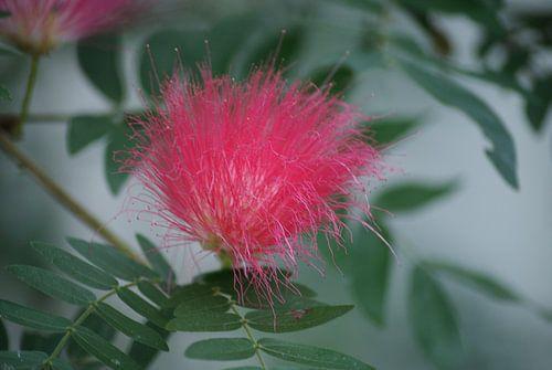Fluffy pink flower