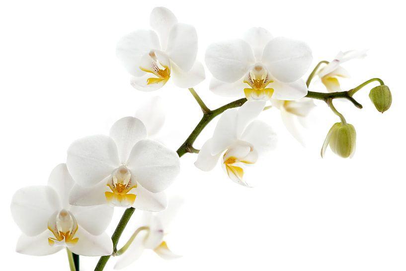 Witte orchidee von Lorena Cirstea