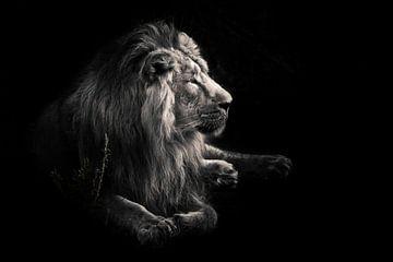 männlicher Löwe mit einer schönen Mähne eindrucksvoll liegt gegen Dark, schwarzer HintergrundDiscolo von Michael Semenov