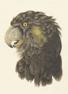 Kopf eines Kakadus, Aert Schouma