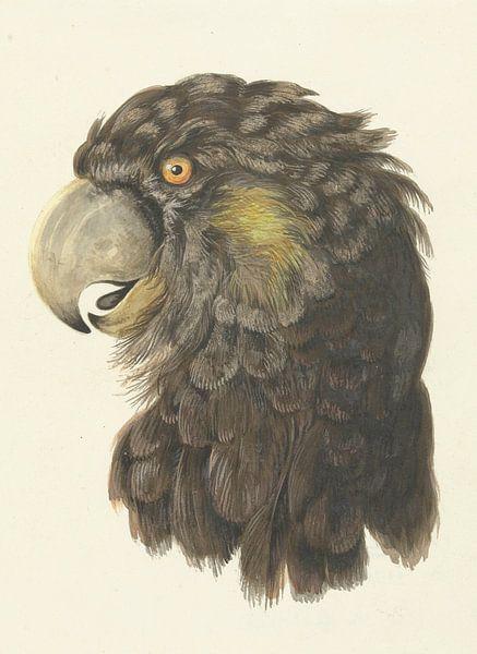 Kopf eines Kakadus, Aert Schouma von Meesterlijcke Meesters