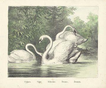 Zwanen, Firma Joseph Scholz, 1829 - 1880