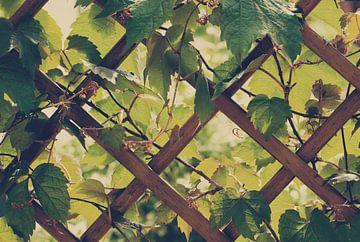 Weinblätter von BVpix