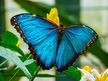 Blauwe vlinder van Stedom Fotografie