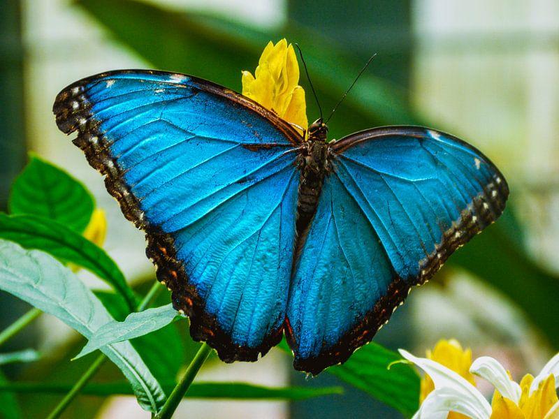 Blauwe vlinder van Koop je Canvas