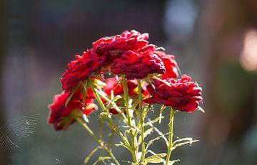 Strauß roter Rosen von Tania Perneel