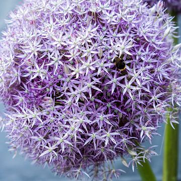 lila paarse bol van alium beeldvullend von Idema Media