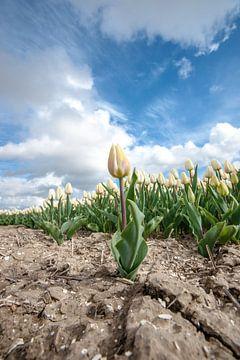 Holländische Tulpen sprießen im Polder von Fotografiecor .nl