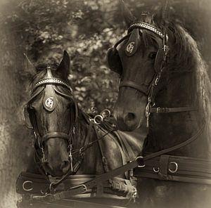 Friese Paarden