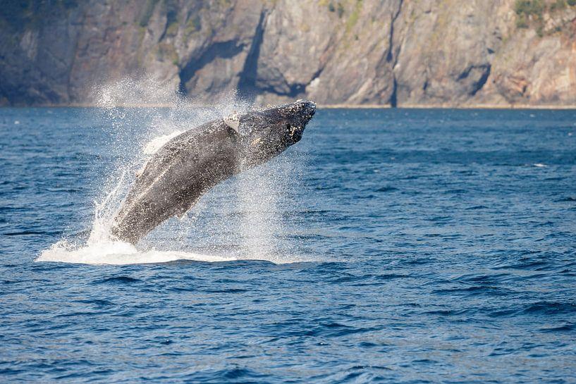 Springende bultrug walvis in Alaska van Menno Schaefer