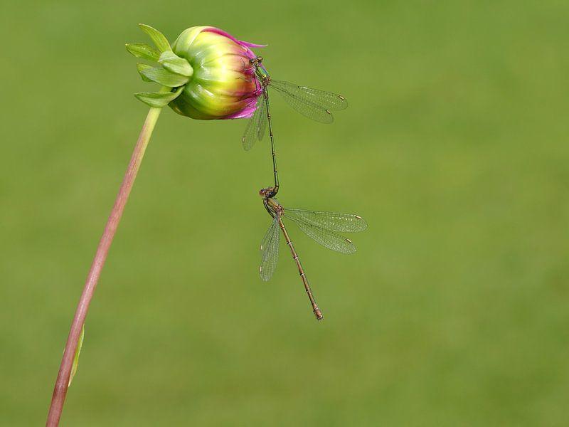Waterjuffers in paringswiel op bloem
