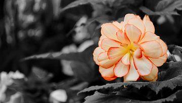 De bloem van de botanische tuinen van Christchurch - NIeuw Zeeland (Zwart-Wit) van Maurits Simons