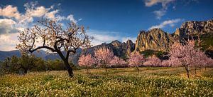 Spanje landschap bloeiende amandelbomen van