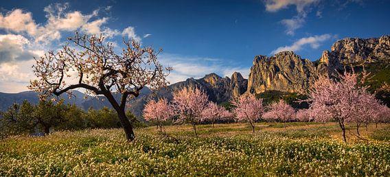 Spanje landschap bloeiende amandelbomen van Peter Bolman