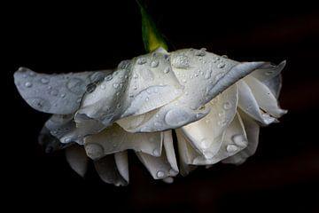 Bedruppelde roos van