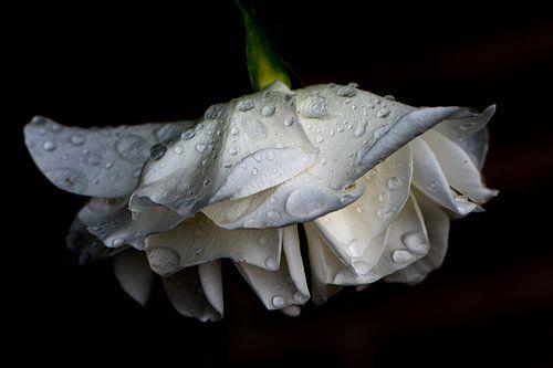 Getrocknete Rose von