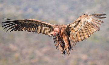 Vale gier / Griffon vulture van Pascal De Munck