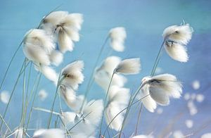Wollgras von Inge Knol