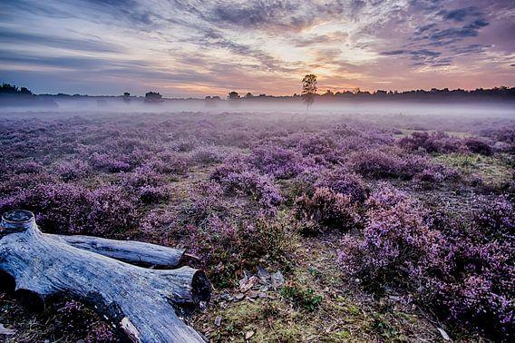 Prachtige paarse heide