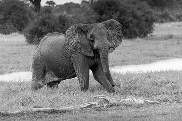 Junger Elefant im Okavango-Delta von Erik Verbeeck