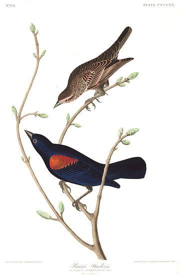 Epauletspreeuw van Birds of America