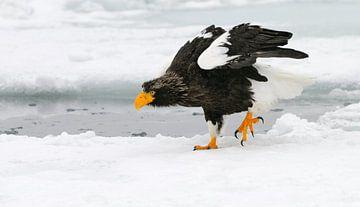 Stellers zeearend op ijsschotsen van Harry Eggens