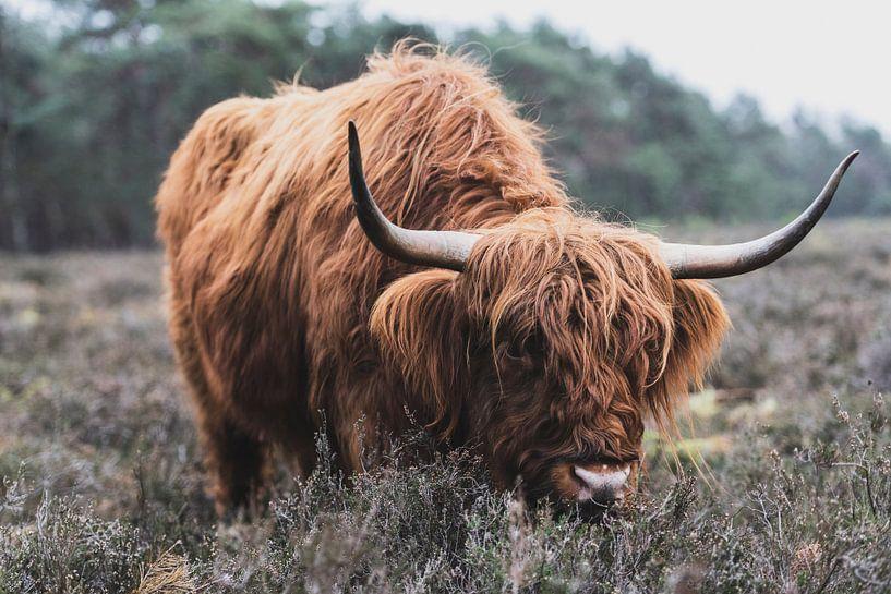 Portret van een Schotse Hooglander koe in de natuur van Sjoerd van der Wal