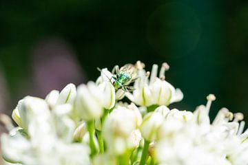 Grüner Käfer zwischen weißen Blüten versteckt von Mickéle Godderis