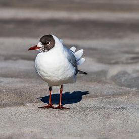 Black-headed gull at the beach of the Baltic Sea sur Gunter Kirsch