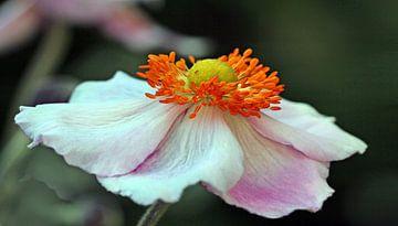 Anemone von Rosi Lorz