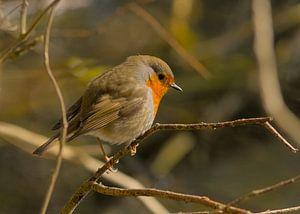 Robin sur une branche dans les bois