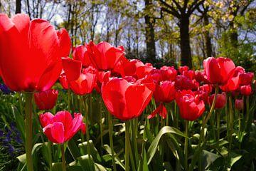 Rode tulpen in bos von Monique van Falier