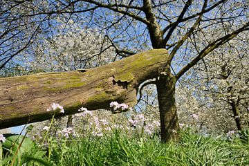 Bloesem Voorjaar