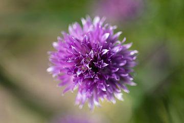 Paarse bloem von STEVEN VAN DER GEEST
