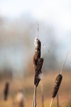 lisdodde in de winter van KB Design & Photography (Karen Brouwer)
