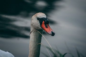 Close up van zwaan in het water van Rinaldo Ten zijthoff
