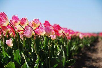 Roze tulpen in het veld - deel 2 van Homemade Photos